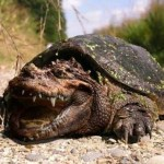 Image about Scary Picture of Hybrid Turtle-Gator