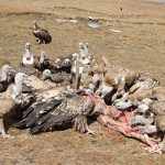 Picture Suggesting Panadol or Paracetamol Remains in the Body for 5 Years, Killing Humans and Vultures