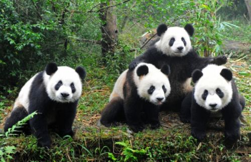 Picture of Group of Real Pandas with Triangular Shape Noses