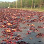 Picture about Crab Invasion After Hurricane Irma in Florida, Video
