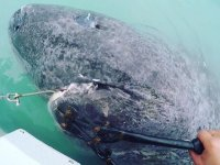 Picture about 512-Year-Old Greenland Shark Caught by Marine Biologists