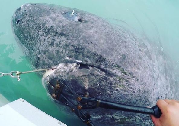 512-Year-Old Greenland Shark Caught by Marine Biologists: Fact Check
