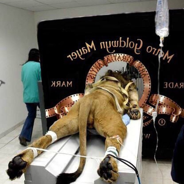 Picture: MGM Strapped Lion to Film Iconic Logo Video