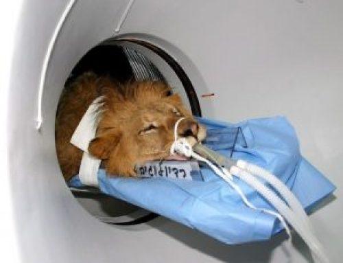 Picture of Sick Samson Lion under CAT scan