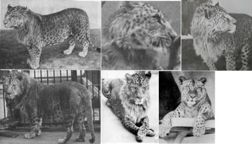 Pictures of Lion Leopard Hybrid Animal Leopon