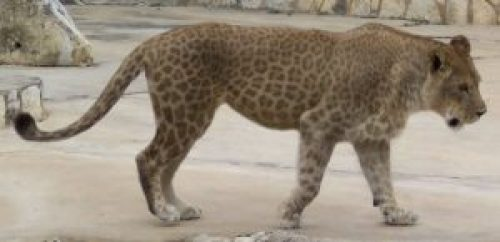 Picture of Lion and Leopardess Hybrid Lipard (Liard)