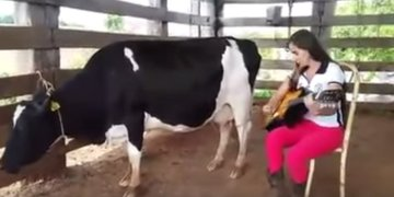 Picture about Woman Makes Cow Leak Milk Playing Guitar