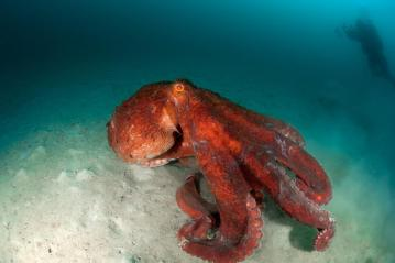 Image about Giant Pacific Octopus Has 3 Hearts 9 Brains Blue Blood