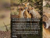 Image about Mother Deer Sacrifices Herself to Cheetahs to Save Her Child