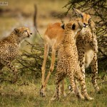 Image of Cheetahs Kill Impala