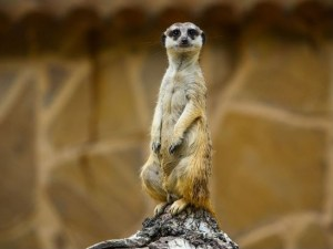Original picture of Meerkat