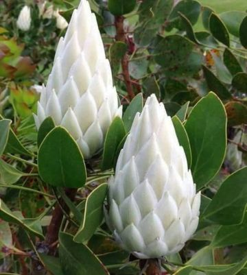 Image about Mahameru Pushpam Rare Himalayan Flower Blooms Once in 400 Years