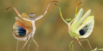 Image about Mantis Love National Geographic Photo of the Year
