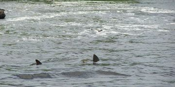 Image about Two Great White Sharks Found Swimming in Kentucky Lake