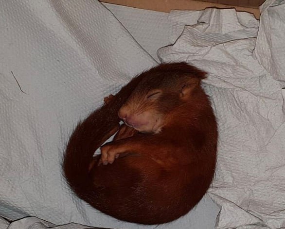 Image about Baby Squirrel Chases Man, Calls Police to Rescue Him