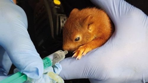 Image of The Baby Squirrel taken into Custody by German Police