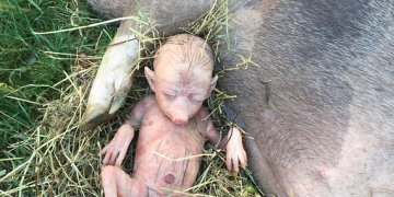 Image about Pig Gives Birth to Human Baby Boy in India