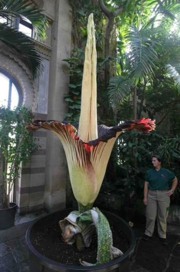 Image about Largest Flower Amorphophallus Titanum Blooms Every 40 Yrs
