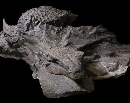 Image of Armored Nodasaurus Specimen (Courtesy of Royal Tyrrell Museum, Drumheller, Canada)