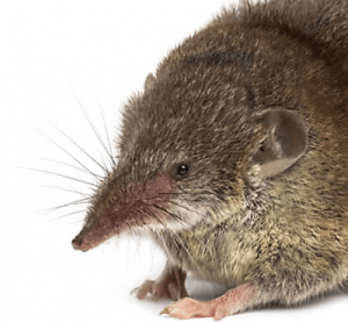 Image of a Shrew