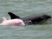Beautiful Picture of Rare Pink Dolphin