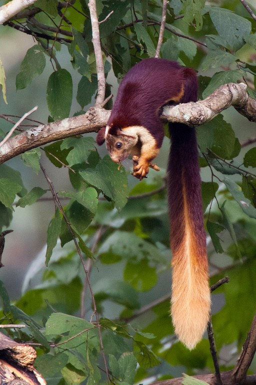Image of The Indian Giant Squirrel
