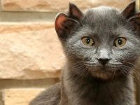 Image of Rare Cat Born With Four Ears
