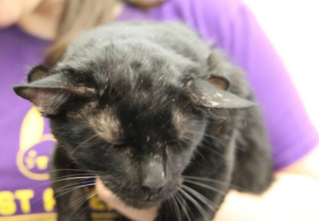 Image of Batman, feline with four ears