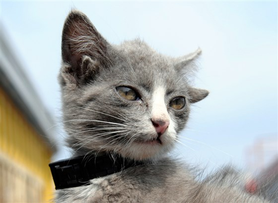 Image of Luntik Cat with small pair of vestigial ears