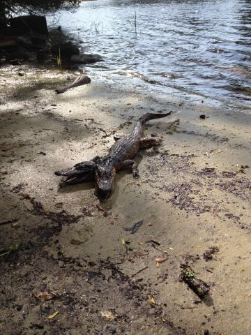 About Picture of Two Headed Alligator Spotted in Tampa, Florida