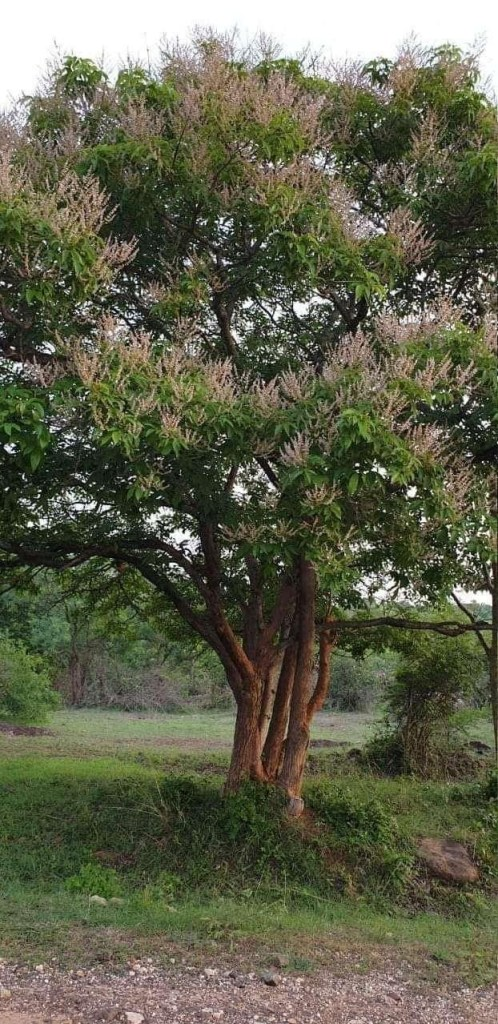 About Picture of World's Largest 'Tulsi Tree' from Karnataka Hills