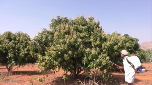 Image of Mango tree in flowering stage