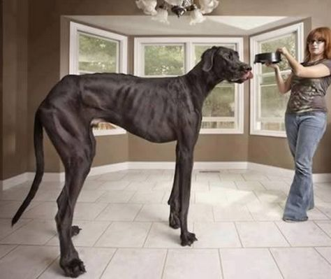 Image of Zeus, the tallest dog measuring 3 ft 8.0 inches