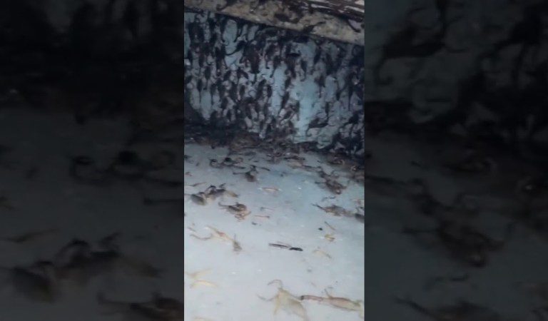 Scorpions Rain in a Rajasthan Village, Viral Video: Fact Check