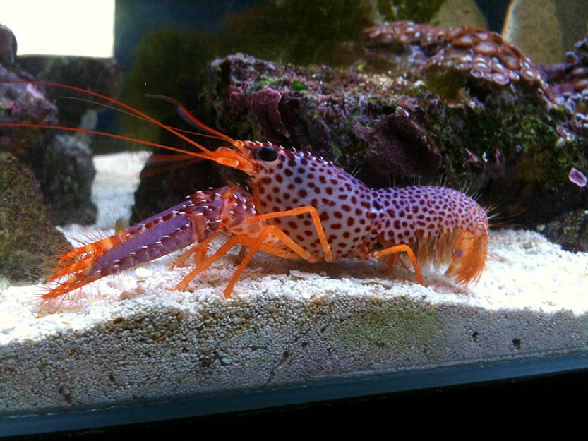Image of a Purple reef lobster