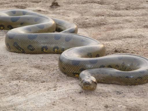 Original photograph of normal size Green Anaconda