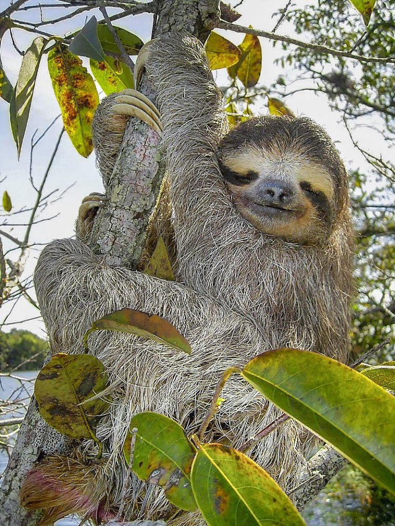 Image of A Sloth on Tree
