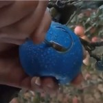 Image about Blue Color Apple Made in China, Video