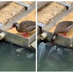 Image about Duck Feeding Grains to Fish, Viral Video