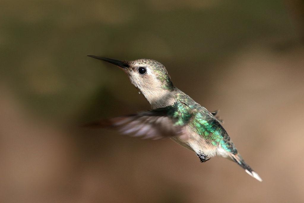 Image of Bee hummingbird (Melisuga helenae) female, Cuba