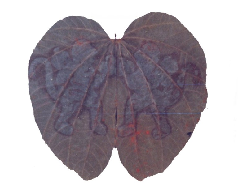 Image about Rare & Holy Hanumadh Beera Leaves in Srisailam Forest