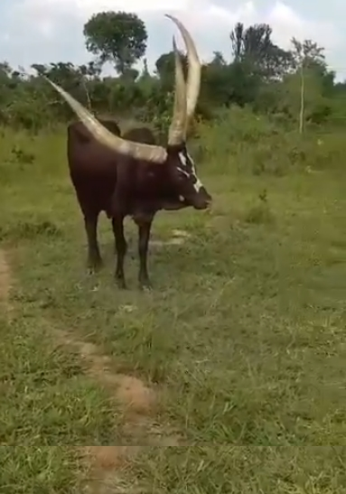 Image about Video of Three Horned Cow Found in Uganda