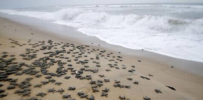 Image of Newly hatched Olive Ridley turtle chicks at a beach in Odisha in 2018, making their way to land