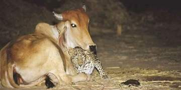Image about Unusual Leopard and Cow Friendship During Lockdown