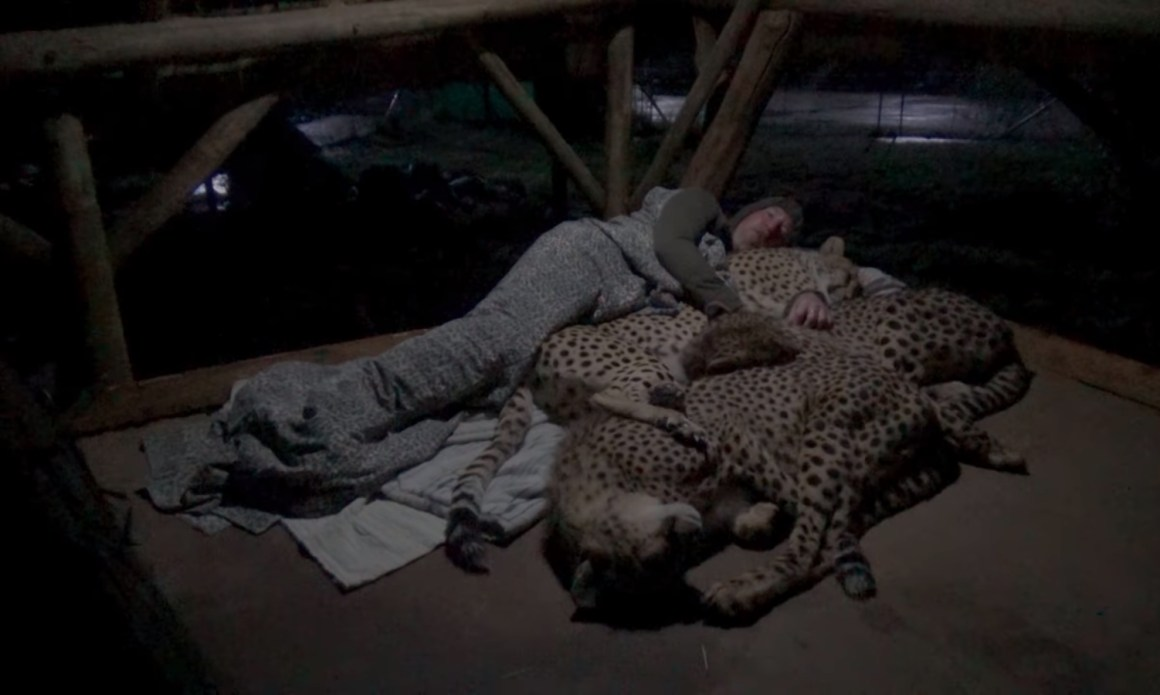 Image of Animal advocate Dolph C Volker sleeping with captive Cheetahs inside enclosure