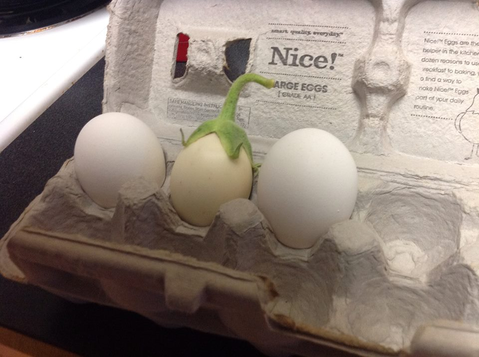 Image of White eggplant compared to two chicken eggs