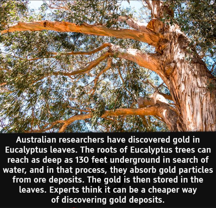 Image about Australian Researchers Discovered Gold in Eucalyptus Leaves