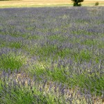 Lavendelåker