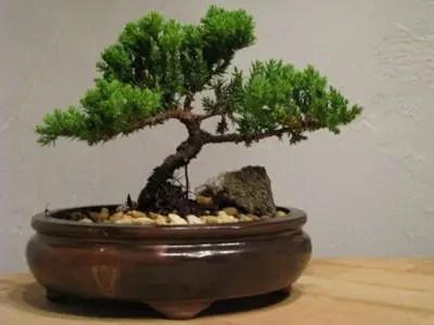 9GreenBox---Juniper-Tree-Bonsai