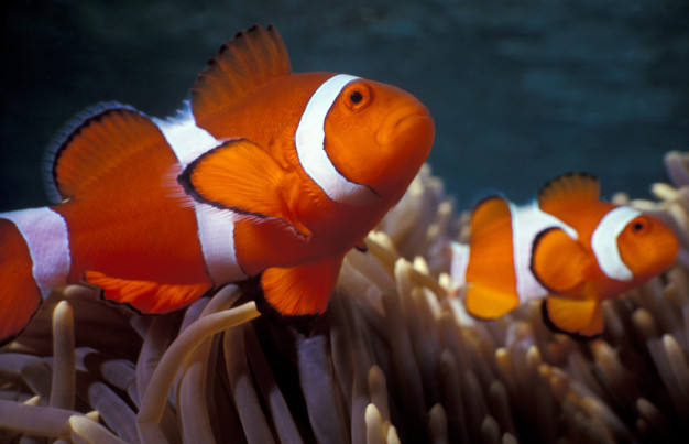 clown fish on the corals